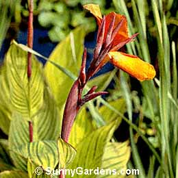 Canna x generalis, Canna Lily