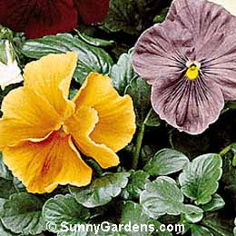 Viola x wittrockiana, Pansy, Annual Violet
