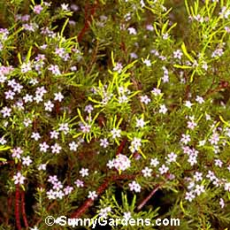 Coleonema pulchrum, Pink Breath of heaven, Pink Diosma